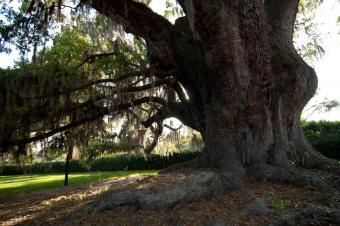 http://ebstock.deviantart.com/art/Big-Old-Oak-Tree-Stock-142737998