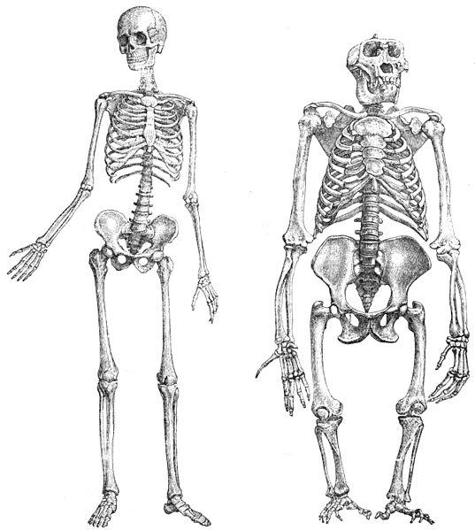 Kostry člověka a gorily