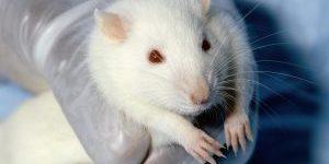 photo by Janet Stevens https://de.wikipedia.org/wiki/Rat_Park#/media/File:Wistar_rat.jpg